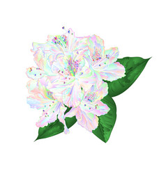flowers multi colored rhododendron with leaves vector image