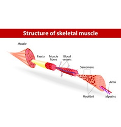 Structure of skeletal muscle vector
