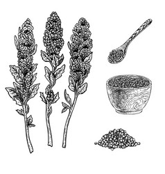Hand drawn set of quinoa plant porridge in bowl vector