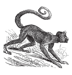 Red-faced spider monkey vector image