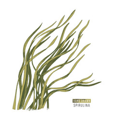 Hand drawn spirulina seaweed vector