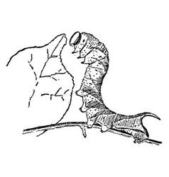 Sphinx moth larva vintage vector