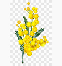 Yellow mimosa flower branch isolated on vector