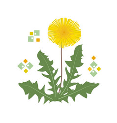 single yellow dandelion flower with green leaves vector image