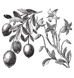 Cranberry vintage engraving vector image