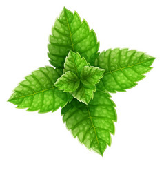 Mint green leaves for mojito vector