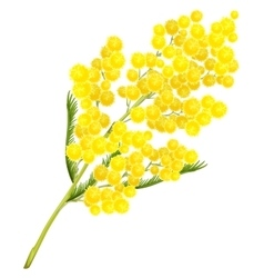 Yellow mimosa flower Mimosa flower symbol of vector image vector image