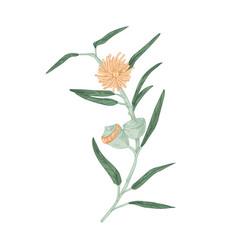 Blooming australian eucalyptus flower vector