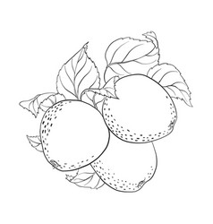 Drawing apples vector