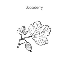 Hand drawn green gooseberry branch vector