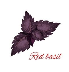 Red basil herb leaves isolated emblem vector