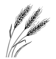 wheat ear spikelet engraving vector image