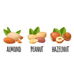 Set whole and half hazelnut peanut almond vector