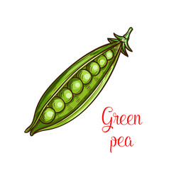 green pea vegetable sketch of fresh legume vector image