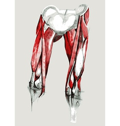 Hip and leg muscles vector