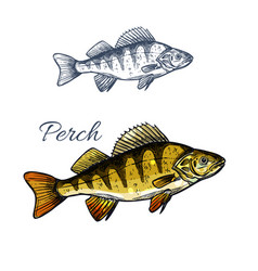 Perch fish isolated sketch freshwater predator vector