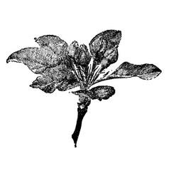 Apple cluster vintage vector