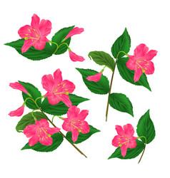spring pink flower decorative shrub weigela vector image