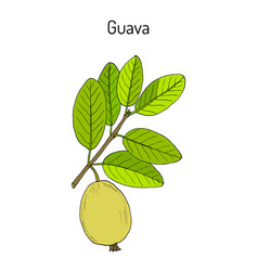 Yellow guava psidium guajava tropical fruit vector