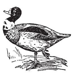 sheldrake duck vintage vector image