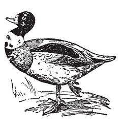 Sheldrake duck vintage vector