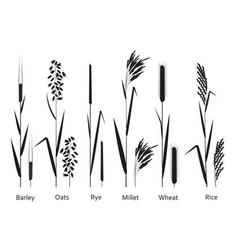 cereals plants set vector image