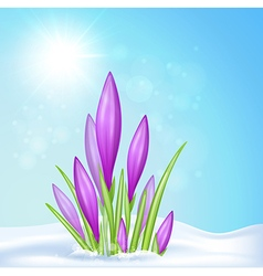 Violet crocus in snow vector image
