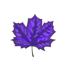 Hand drawn maple leaf vintage engrave sketch vector