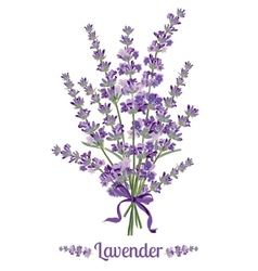 Beautiful bouquet of lavender flowers Botanical vector image vector image