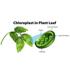 Diagram showing chloroplast in plant leaf vector