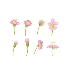 Garden pink flower blossom stages from bud opening vector