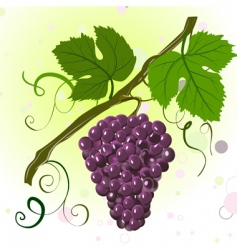 grape vine vector image