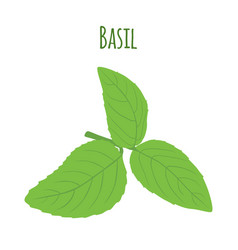 Green basil leaves vegetarian herbal condiment vector
