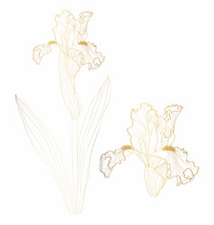 Iris floral botanical gilden line flower vector