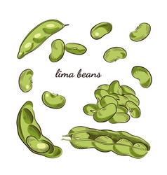 Lima beans hand drawn vector