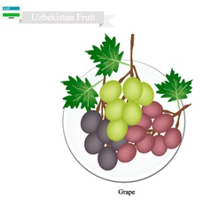 Ripe Grape A Popular Fruit in Uzbekistan vector image