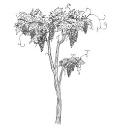 Vine grapes with berry and leaves vintage vector