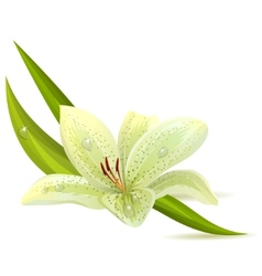 White lily isolated vector