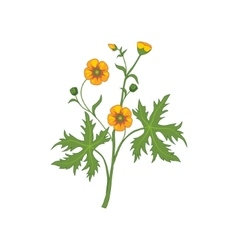 Buttercup Wild Flower Hand Drawn Detailed vector image vector image