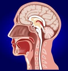 head anatomy vector image