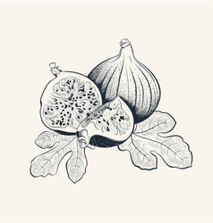 Fig fruit hand drawn with leafs vector