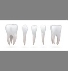 teeth type realistic dental anatomy 3d incisor vector image