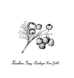 tropical fruit of hand drawn sketch hawthorn vector image