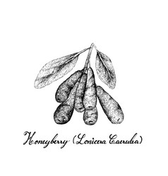 Tropical fruit of hand drawn sketch honeyberry vector