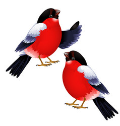two bullfinch isolated on white background vector image