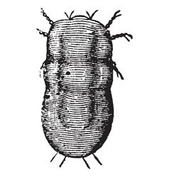 Locust mite vintage engraving vector
