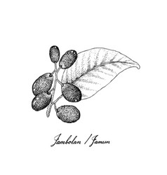 berry fruits of hand drawn sketch jambolan java vector image