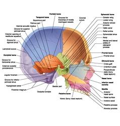 skull midsagittal view vector image