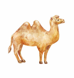 hand drawn of camel on white background vector image