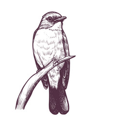 Ink hand drawn flycatcher vector